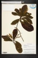 Image of Terminalia muelleri