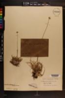 Eriocaulon compressum var. harperi image