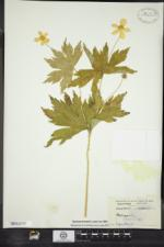 Anemone canadensis image