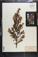 Image of Inula viscosa