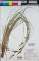 Carex serratodens image