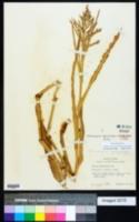 Phanopyrum gymnocarpon image