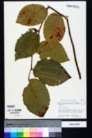 Ulmus rubra image
