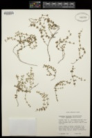 Chamaesyce deltoidea image