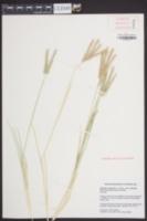 Eleusine coracana image
