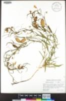 Lathyrus sativus image