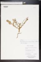 Image of Mesembryanthemum arenosum