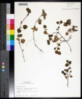 Mitchella repens image