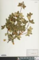 Image of Acer monspessulanum