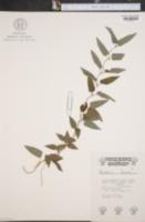 Image of Paederia foetida