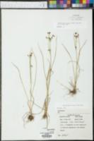 Rhynchospora nitens image