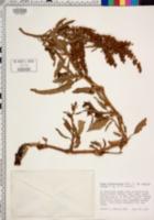 Rumex transitorius image