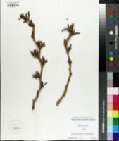 Image of Morus australis
