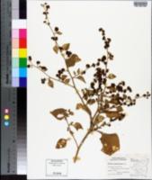 Image of Boldoa purpurascens