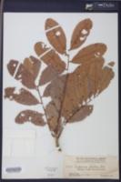 Cupania glabra image