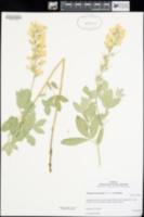 Thermopsis macrophylla image