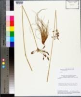 Bulbostylis conspicua image