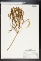 Image of Euphorbia trichotoma