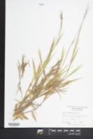 Image of Panicum consanguineum