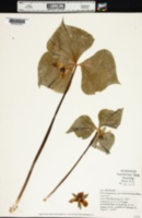Trillium cernuum var. macranthum image