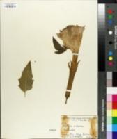 Image of Datura arborea