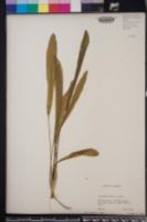 Image of Echinodorus subalatus