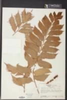 Image of Cyrtomium caryotideum