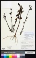 Image of Lobelia apalachicolensis