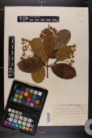 Image of Viburnum japonicum