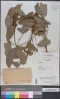 Image of Pilocarpus pennatifolius