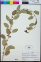 Image of Ziziphus spina-christi
