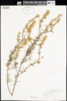 Image of Grevillea aurea