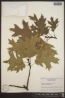 Quercus × hawkinsiae image