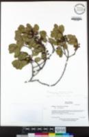 Rhamnus ilicifolia image