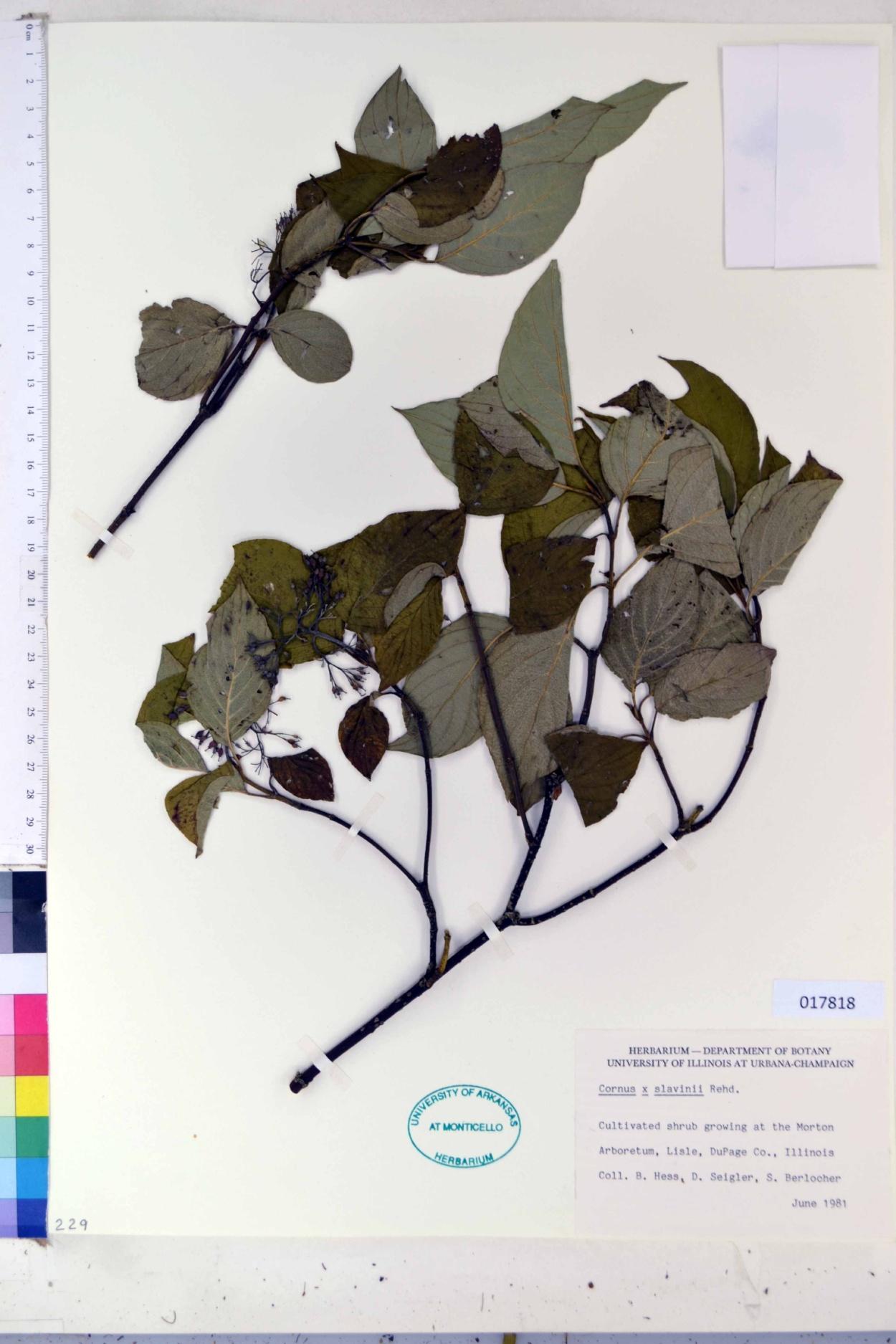 Cornus slavinii image