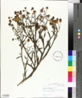 Helenium flexuosum image