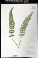 Image of Polystichum calderonense