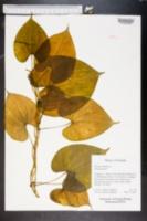 Dioscorea bulbifera image