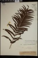 Cyclosorus gongylodes image