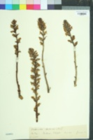 Image of Orobanche hederae