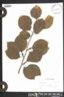 Fagus sylvatica image