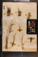 Mononeuria groenlandica image