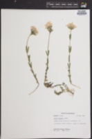Image of Phlox hentzii