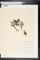 Image of Salix retusa