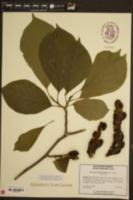 Image of Magnolia heptapeta