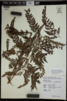 Image of Arachniodes festina