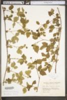 Rubus deamii image