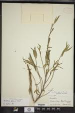 Image of Oenothera affinis