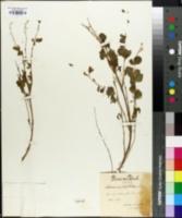 Image of Cytisophyllum sessilifolius