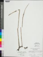 Image of Lycopodiella appressa